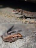 胎生的蜥蜴 Zootoca Vivipara的婴孩 免版税库存照片