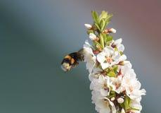 胖在豪华的春天庭院里弄糟蜂收集花蜜 免版税图库摄影