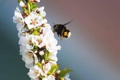 胖在豪华的春天庭院里弄糟蜂收集花蜜 库存照片