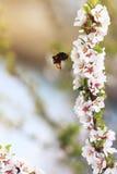 胖在豪华的春天庭院里弄糟蜂收集花蜜 免版税库存照片