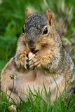 胖的吃花生灰鼠 免版税库存图片