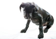 胖的小狗 免版税库存照片
