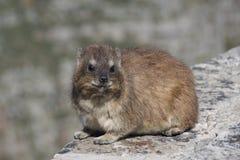 胖的岩石非洲蹄兔或Dassie 免版税图库摄影