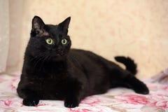 胖的美丽的孟买猫 免版税库存图片