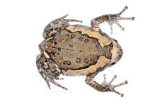 胖的青蛙 免版税图库摄影