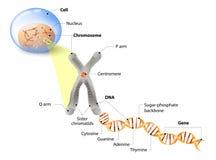 细胞、染色体、脱氧核糖核酸和基因 免版税库存照片