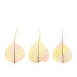 -胞状结构-被隔绝的三片干燥秋天颜色叶子 库存图片