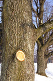 胡同分支切割椴树冬天创伤 库存照片