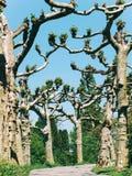 胡同在花海岛Mainau上的法国梧桐树 库存照片