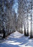 胡同桦树 库存照片