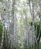 胡同桦树 免版税库存图片