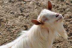 胡子山羊垫铁 免版税库存照片