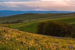 胡德山传染性的日落光和野花在哥伦比亚山脉国家公园, WA归档了 免版税库存照片