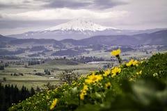 胡德山和向日葵的领域 免版税图库摄影