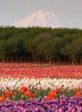 胡德山果树园郁金香领域花种植者农场 免版税图库摄影