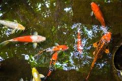 胡扯鱼在池塘 免版税库存照片