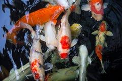 胡扯鱼或koi鱼 免版税库存照片