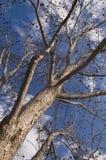 胡桃树 库存图片