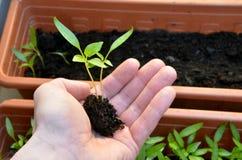 胡椒两棵小的植物在开放手上准备好为放再盆中,特写镜头 免版税库存照片