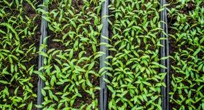 胡椒幼木在罐的在窗台 免版税库存照片