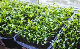 胡椒幼木在罐的在窗台 免版税库存图片
