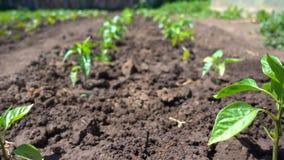 胡椒幼木行在一个环境友好的农场的沃土增长 影视素材