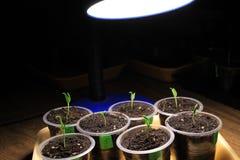胡椒幼木补充照明设备在早期的春天由LED灯在家 特写镜头 库存照片