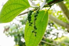胡椒树在泰国的庭院里 免版税库存照片