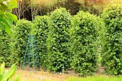 胡椒树 库存照片