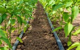 胡椒植物和水滴灌溉 图库摄影