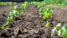 胡椒灌木整洁的行在农场增长 增长的有机蔬菜在阳光下 股票录像
