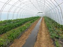 胡椒生产自温室 库存照片