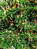 胡椒的所有颜色 库存照片