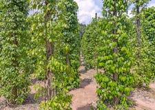 胡椒种植园在越南 免版税库存照片