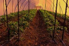 胡椒自一间温室在以色列 免版税库存图片