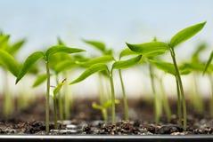 胡椒plantlets 免版税库存照片
