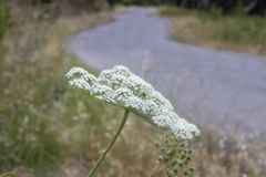 胡萝卜属carota植物的特写镜头 r 平交道口被弄脏的背景 库存图片