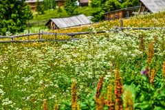 胡萝卜属carota野胡萝卜鸟` s巢主教在一个农村田园诗设置的` s鞋带狂放的开花的花的领域  库存照片