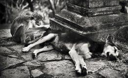 胡闹修饰在一个斯里兰卡的寺庙的一条狗 库存图片