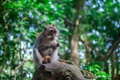 胡闹吃在猴子forrest在Ubud,巴厘岛 免版税库存图片
