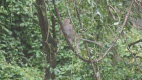 胡闹在树在Khao Ngoo岩石公园, Ratchaburi,泰国 影视素材