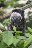 胡闹坐在树的叶子的皇家绢毛猴 库存照片