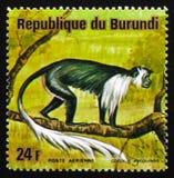 胡闹安哥拉疣猴、安哥拉黑白疣猴或者Angol 库存照片