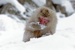 胡闹日本短尾猿,猕猴属fuscata,坐雪,北海道,日本 与猴子的冬天场面从多雪的山 逗人喜爱 库存图片