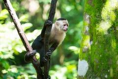 胡闹连斗帽女大衣坐在洪都拉斯的雨林的树枝 免版税图库摄影