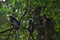 胡闹,暗淡的叶子叶猴Trachypithecus obscurus戴了眼镜叶子猴子 免版税库存图片