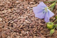 胡麻植物从蓝色花的在种子 库存照片