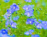 胡麻花 蓝色胡麻开花的领域 蓝色胡麻 蓝色fla 免版税库存图片