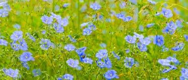 胡麻花 蓝色胡麻开花的领域 库存图片