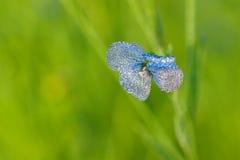 胡麻蓝色花在领域开花 库存图片